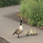 family of geese by the river - self-care